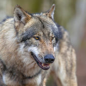 Portrait of a Threathening Grey Wolf — Stock Photo
