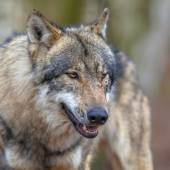 Portrait of a Threathening Grey Wolf — Stockfoto