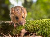 Field Mouse (Apodemus sylvaticus) looking in the camera — Stok fotoğraf