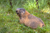 Alpine marmot looking backward — Stock Photo