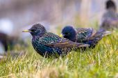 Male common starling in a grass field — Stock Photo