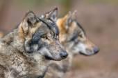 Portrait of two resting Grey Wolfs — Stock Photo