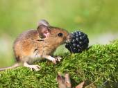 Sätta in musen (apodemus sylvaticus) — Stockfoto