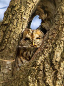 Brown owl in a tree — Stock Photo