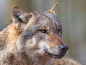 Retrato de perigoso lobo cinzento — Fotografia Stock