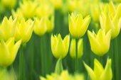Lovely springtime blurry tulip flowers background — Stockfoto