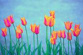 Beautiful orange violet color blurred tulip flowers — Stock Photo
