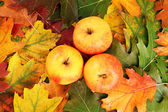 Apples on the autumn leaves — Stockfoto