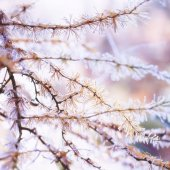 Frozen larch needles — Stock Photo