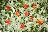 Autumn maple leaves in the snow — Fotografia Stock