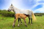 Mother horse gives milk for her little foal — Stock Photo