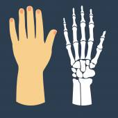 The flat design of the hand and the hand skeleton. Vector illustration. — Stock Vector