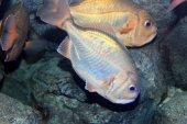 Japanese butterfish (Psenopsis anomala) in Japan — Stock Photo