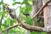Red-crowned Barbet (Megalaima rafflesii) in South Thailand — Stock Photo