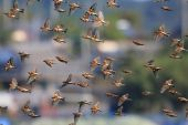 Brambling (Fringilla montifringilla) flocks in Japan — Stock Photo