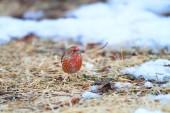 Pallas's Rosefinch (Carpodacus roseus) in Japan — Stock Photo