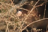 Eurasian Bullfinch (Pyrrhula pyrrhula griseiventris) in Japan — Stock Photo