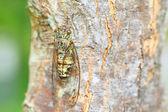 Japanese tsuk-tsuk cicada (Meimuna opalifera) in Japan — Stock Photo