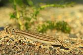Loach rayado común japonés (cobitis striata) en Japón — Foto de Stock