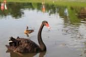 Black swan (Cygnus atratus) in Singapore — Stock Photo