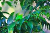 Blue-winged Leafbird (Chloropsis cochinchinensis) in Thailand — Stock Photo