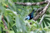 Masked Tanager (Tangara nigrocincta) in Napo, Ecuador — Stock Photo
