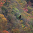 Golden eagle (Aquila chrysaetos) flying In Japan — Stock Photo #56065083