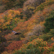 Golden eagle (Aquila chrysaetos) flying In Japan — Stock Photo #56097679