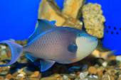 Redtooth triggerfish (Odonus niger) in Japan — ストック写真
