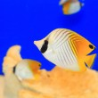 Threadfin butterflyfish (Chaetodon auriga) in Japan — Stock Photo #58646151