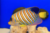 Regal Angelfish (Pygoplites diacanthus) in Japan — Стоковое фото