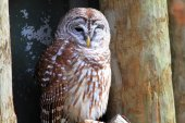 Northern Barred Owl (Strix varia) in  Florida, North America — Stock Photo