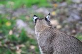Bobcat or Bay Lynx — Foto Stock