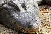 American crocodile (Crocodylus acutus)  in Florida, North America — Stock Photo