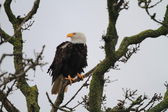Bald Eagle (Haliaeetus leucocephalus) in Florida, North America — Stock Photo