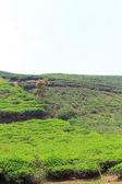 Indonesia, tea leaves, field, asia, high, moutain, sumatra, asian, plantation, mt.kerinci, island — Stock Photo