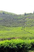 Indonesia, tea leaves, field, asia, high, moutain, sumatra, asian, plantation, mt.kerinci, island — Foto de Stock