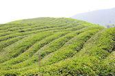 Tea plantation in Sumatra Island, Indonesia — 图库照片