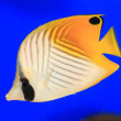 Threadfin butterflyfish (Chaetodon auriga) in Japan — Stock Photo #60699847
