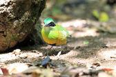 Bar-bellied Pitta (Hydrornis elliotii) in Vietnam — Stock Photo