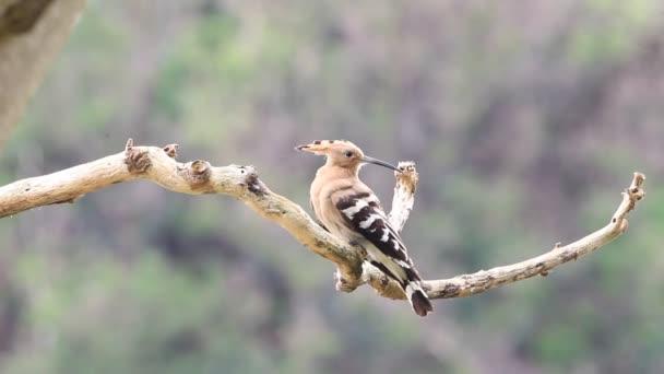 Eurasian Hoopoe (Upupa epops) in Japan — Vidéo