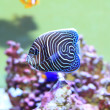 Emperor angelfish (Pomacanthus imperator) young fish — Stock Photo #67503287