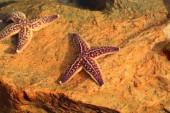 Northern Pacific seastar (Asterias amurensis) in Japan — Foto Stock