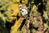 Siren butterfly (Hestina persimilis japonica) in Japan — Stockfoto