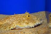 Yellow goosefish (Lophius litulon) in Japan — 图库照片