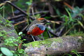 Whiskered Pitta (Erythropitta kochi) in Luzon, Philippines — Stock Photo