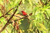 Temminck's sunbird Aethopyga temminckii in Malaysia — Stock Photo