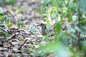 巨大なピッタ (Hydrornis caeruleus) ボルネオでの男性 — ストック写真