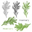 Hand drawn floral rosemary set — Stock Vector #64343979