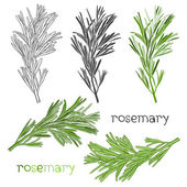 Hand drawn floral rosemary set — Stock Vector